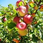 Придомовые фруктовые деревья. Создаём свой сад.