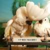 Белохохлый какаду ручные птенцы из питомников европы