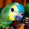 Амазоны - абсолютно ручные птенцы из питомников  европы