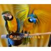 Сине желтый ара ara ararauna  ручные птенцы из питомников евро