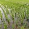 Хозяйство с рисовой системой  1500 га
