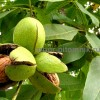 Крупномеры и саженцев деревьев грецкого ореха